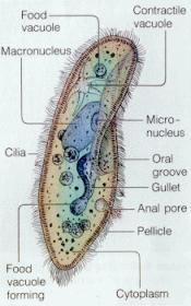 اضغط على الصورة لعرض أكبر  الاســـم: paramecium_dia.jpg المشاهدات: 4 الحجـــم: 11.5 كيلوبايت الرقم: 1336