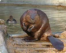 الاســـم:Beaver2003SEG.jpg المشاهدات: 5062 الحجـــم:9.4 كيلوبايت