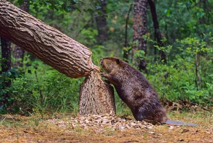 الاســـم:beaver 1.jpg المشاهدات: 7961 الحجـــم:33.0 كيلوبايت