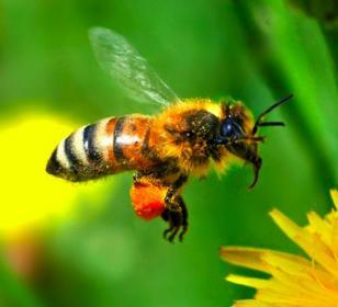 الاســـم:bee-1.jpg المشاهدات: 2819 الحجـــم:11.8 كيلوبايت